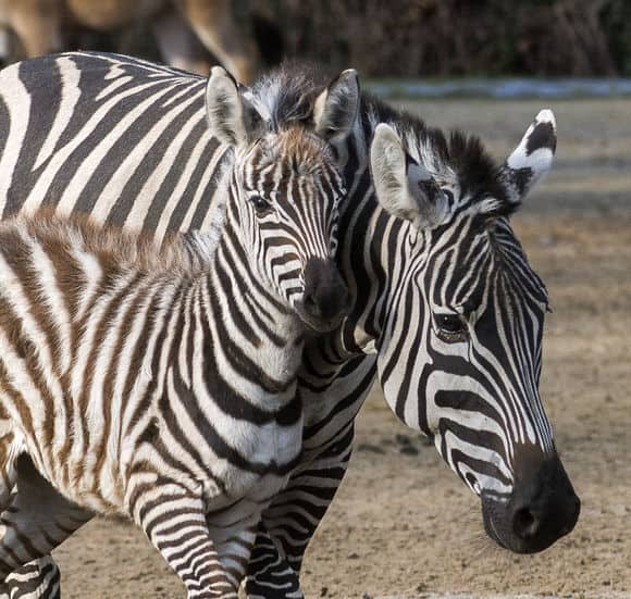 csm_Boehm-Zebra_Bella_und_Nachwuchs_Kasema_Zoo_Berlin__5__38f37ec3bb